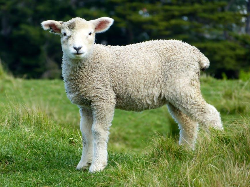 global wool market