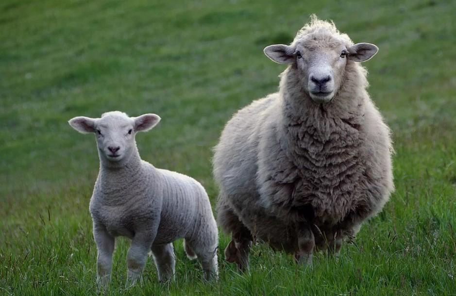 top lamb producers